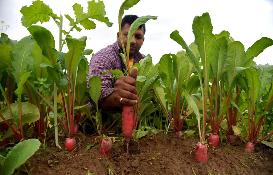 Kashmiri farmers wash radishes before selling on outskirts of Jammu