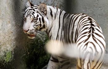 Uganda unveils pair of tigers at animal sanctuary in central region