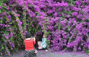 People take photos of flowers of bougainvillea plants on wall of old community in Fuzhou