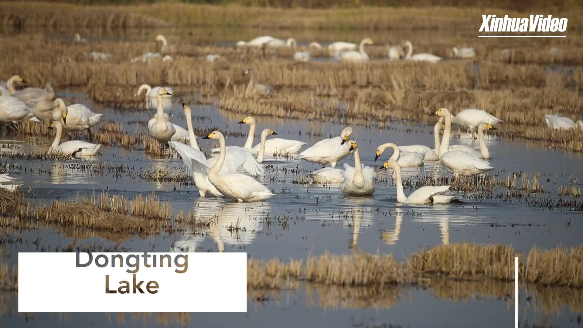 Thousands of swans flock to China's second-largest freshwater lake