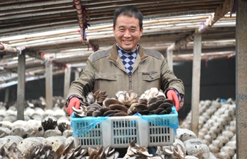 Farmers pick oyster mushrooms at green house in Hebei