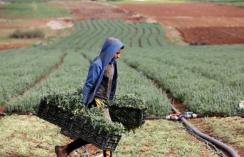 Palestinian farmers harvest green thyme in West Bank city of Tubas