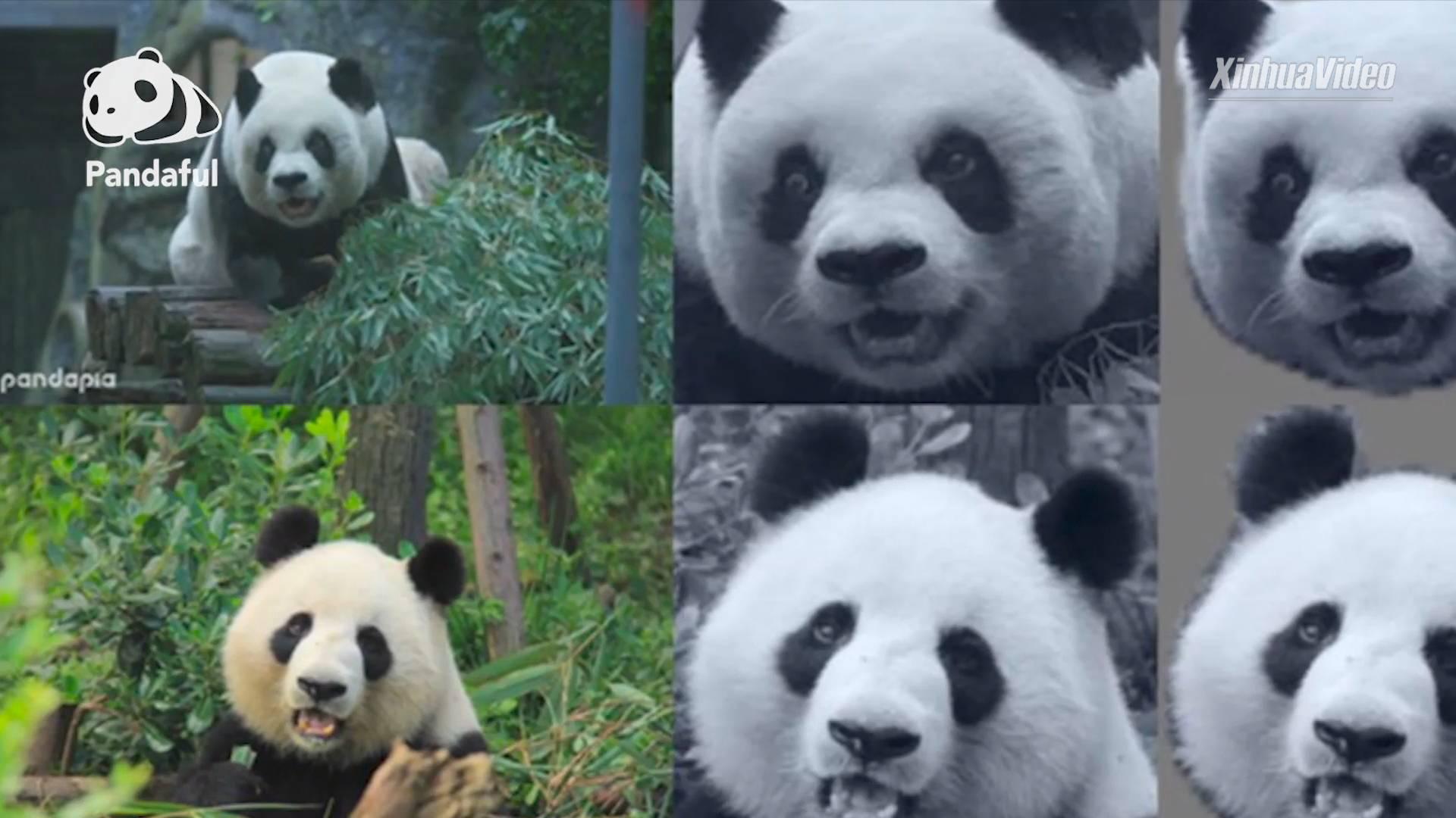 What is giant panda facial recognition?   Pandaful Q&A