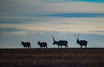 Number of Tibetan antelopes exceeds 200,000 in Tibet