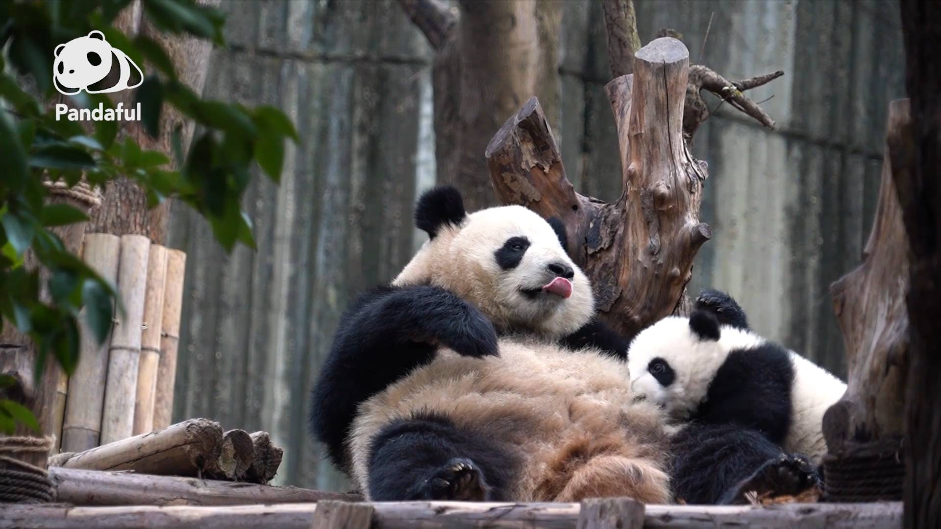 When would a panda be weaned? | Pandaful Q&A