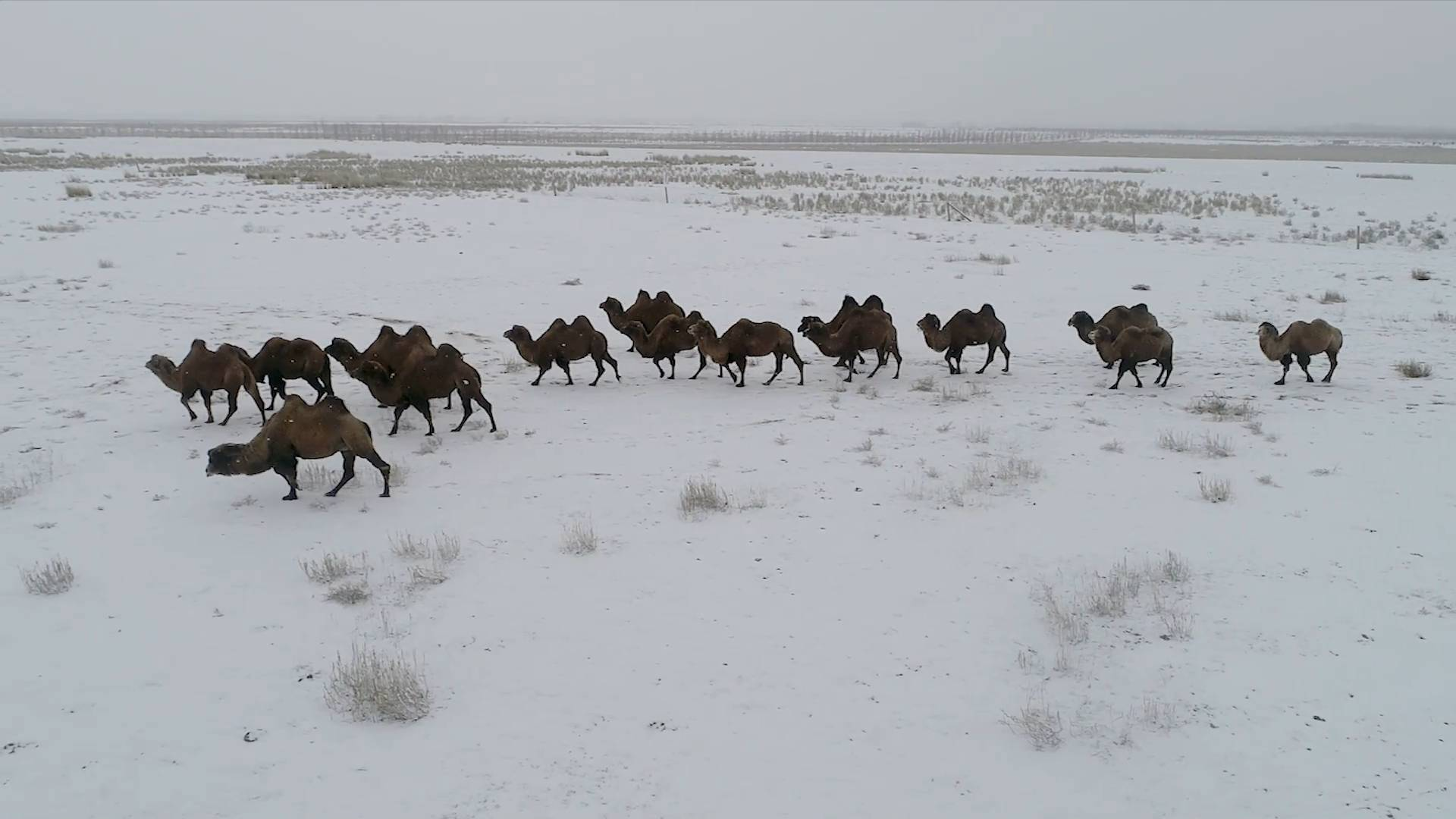 GLOBALink | Camel breeding helps Kazakh herdsmen shake off poverty in Xinjiang