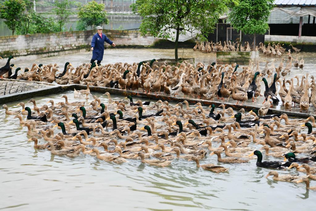 Sansui County develops duck industry to enrich people in China's Guizhou