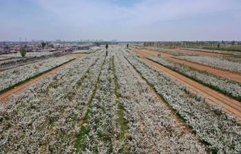 In pics: blooming pear trees in Qixian County, Shanxi