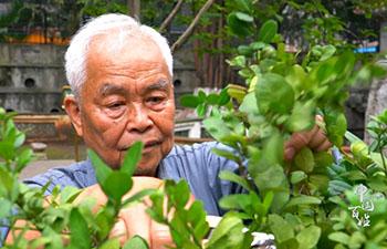 Inheritor of Lingnan Bonsai wants to make litchi stumps into bonsai
