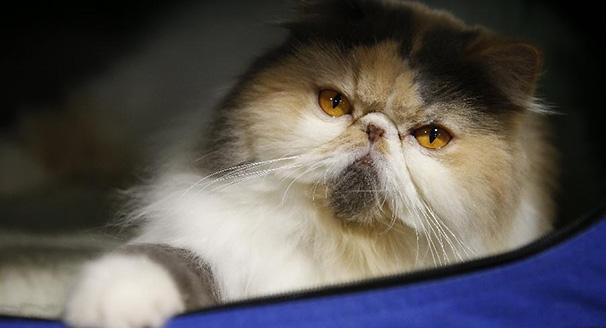 曼谷举行猫展