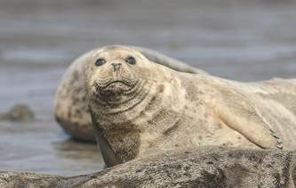 呆萌斑海豹洄遊棲息