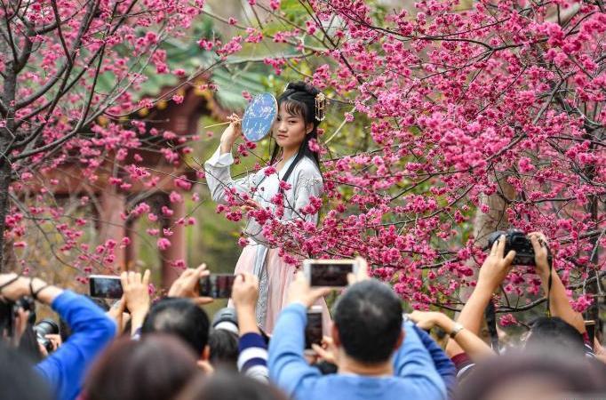 廣州華南農業大學櫻花怒放吸引遊人