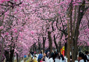 櫻花海 映春光
