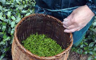 杭州西湖龍井春茶開採