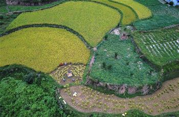 貴州石阡:山區農民搶秋收