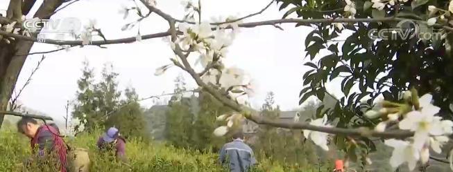 采制新茶正当时 采茶工人收入增加