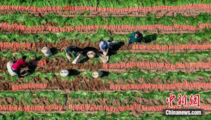 冬春季胡萝卜最大出口基地迎销售黄金季