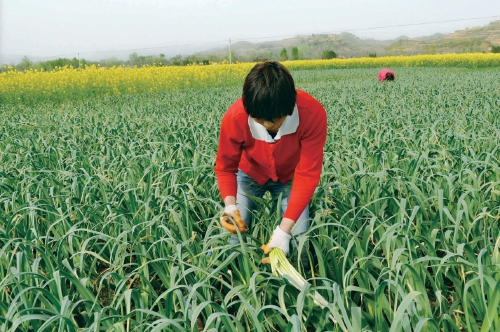 甘肃徽县引进大蒜新品种 助农增收