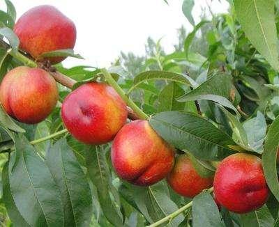 查查八輩祖宗,油桃是李子還是桃子的親戚?