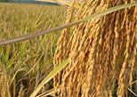 电商联动将黑龙江优质大米送进城市社区