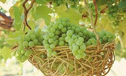 青岛平度:葡萄盆景年收入可达30万元