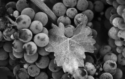 """葡萄表面的""""白霜""""对人体无害    它可以吃"""