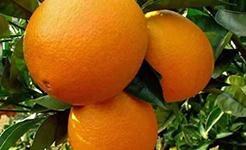 """秭归脐橙翻身记 """"小脐橙""""变身""""致富果"""""""