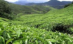 丹寨今年改造1万亩低产茶园