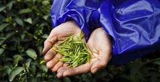 【圖解】茶葉科普小知識——如何挑選好茶