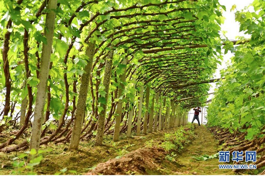果蔬種植助增收