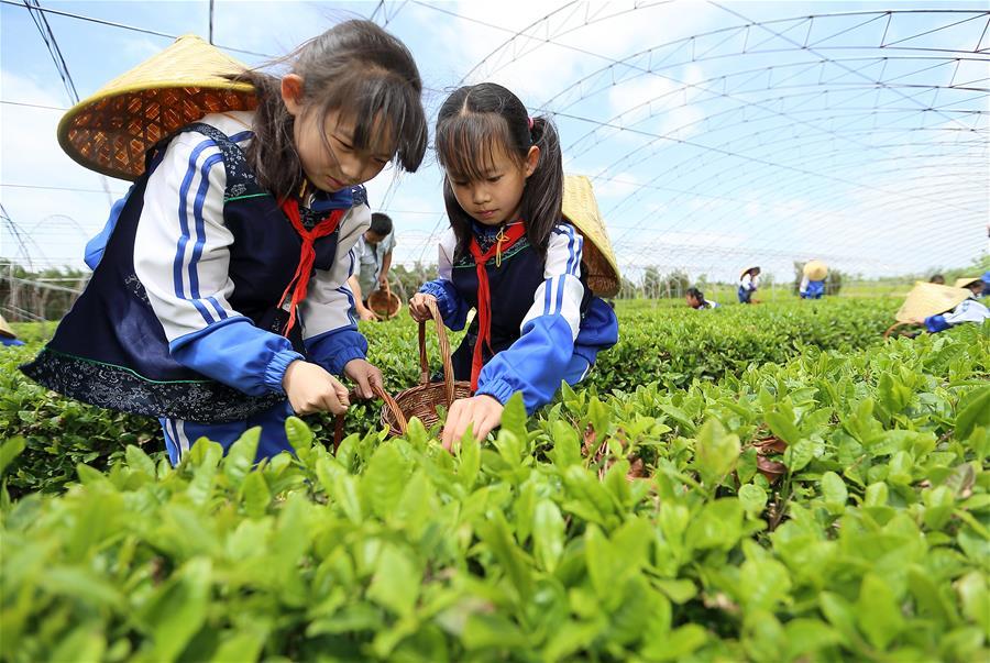 【高清圖集】山東即墨:採茶葉 學茶藝
