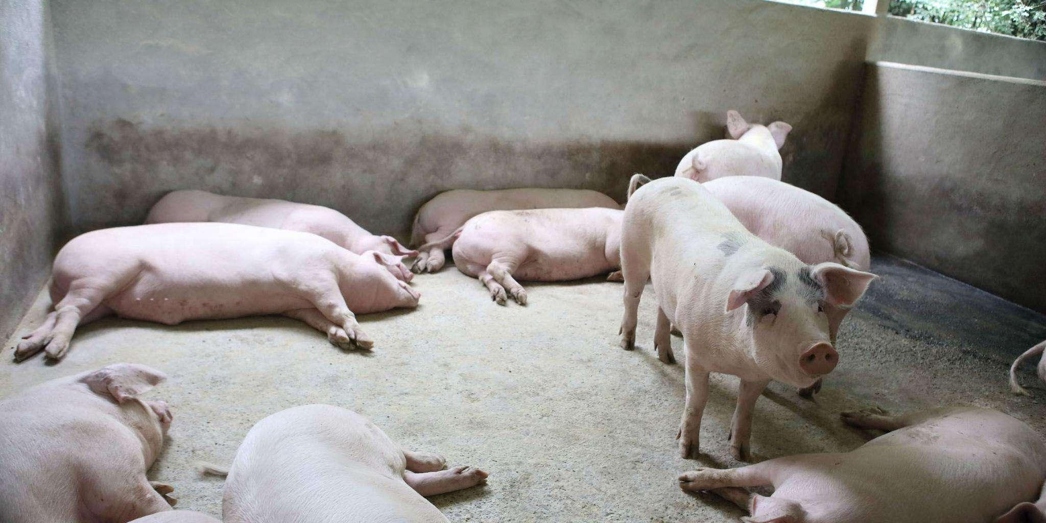 廣西相關部門回應豬肉安全問題:非洲豬瘟不會感染人