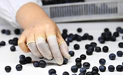 重慶南川:藍莓産業助力鄉村振興