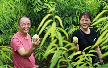 重慶巴南:盛夏時節香桃熟