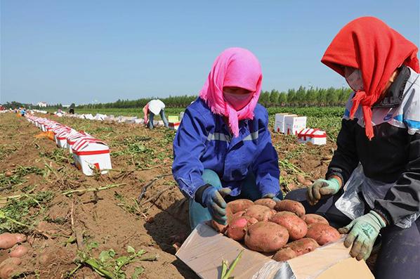 【高清圖集】壩上早熟馬鈴薯豐收