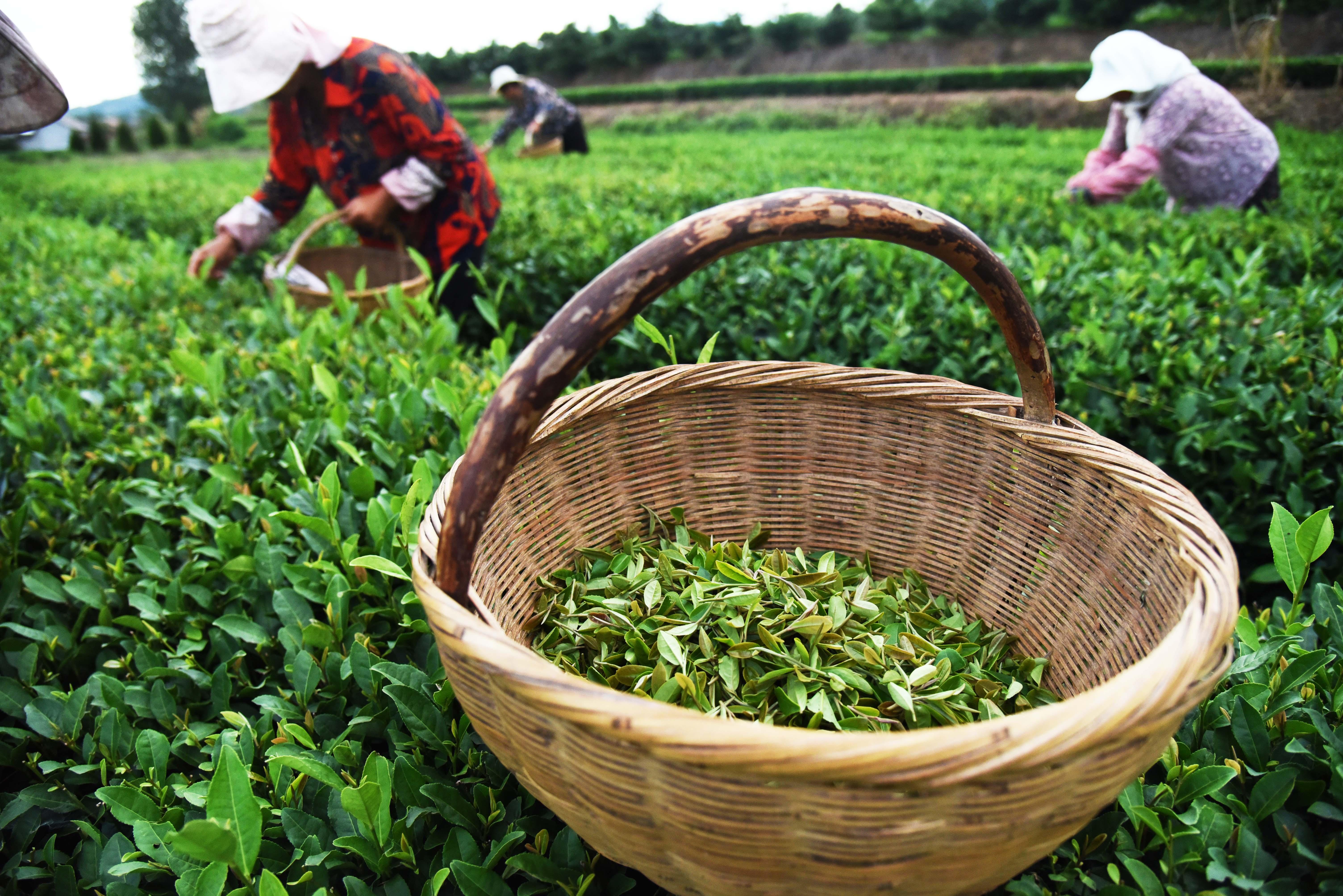 【圖集】山東日照:秋茶採摘忙