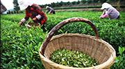 山東日照:秋茶採摘忙