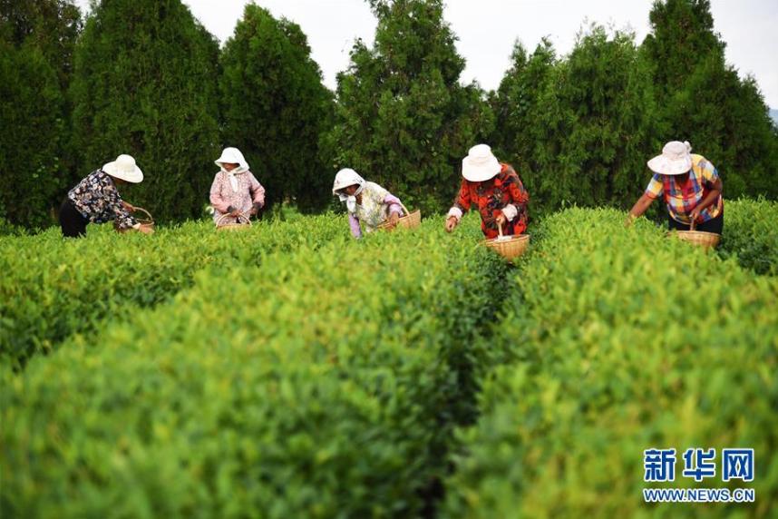 我國茶園面積及茶葉年産量穩居世界第一