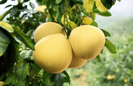 柚子肉和柚子皮的這些功效你知道嗎?