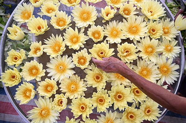 廣西柳州:九品香水蓮花採摘忙