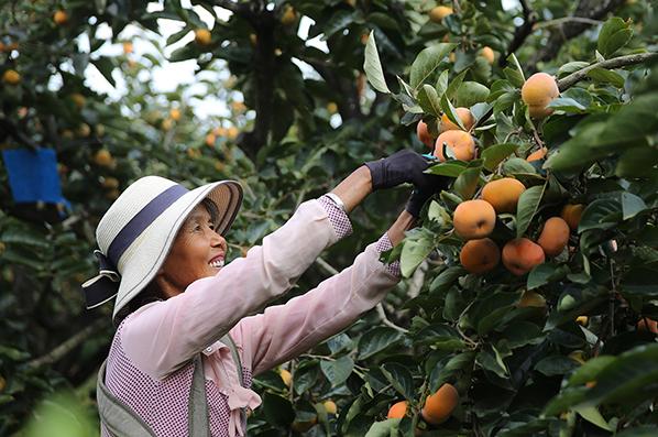 雲南保山:隆陽甜柿喜豐收