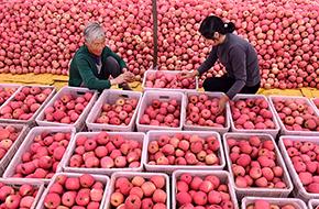 山東沂源:金秋蘋果迎豐收
