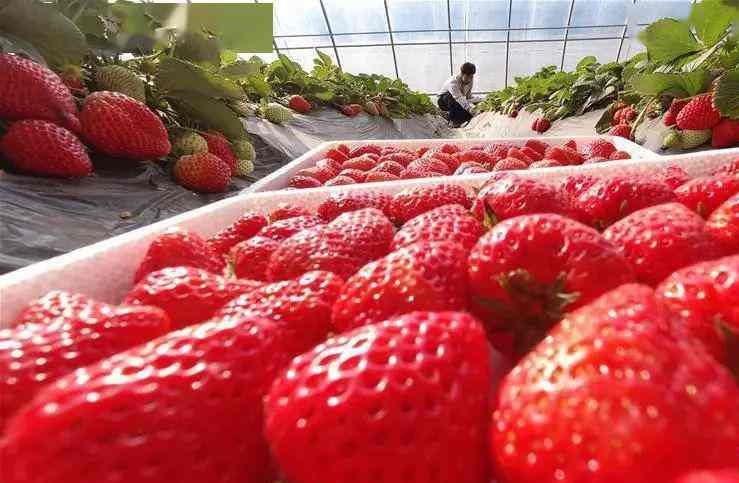 """江西吉安 果農喜上""""莓""""梢"""