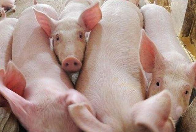 豬價跌至三級預警區間 發改委將開展儲備調節