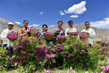 高原玫瑰芬芳四溢迎賓客