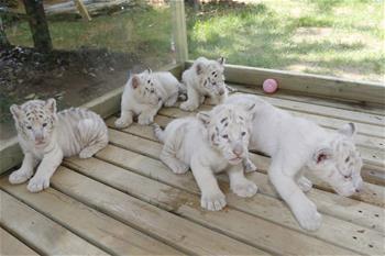 濟南五胞胎雪虎寶寶亮相