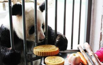 大熊貓吃月餅過中秋