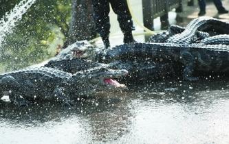 揚子鱷越冬轉場