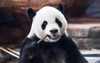 萌動全球的大熊貓
