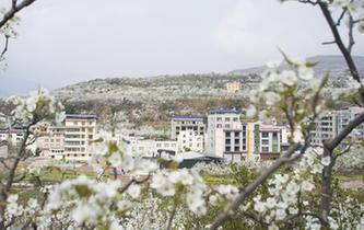 四川:春風一夜來 萬樹梨花開